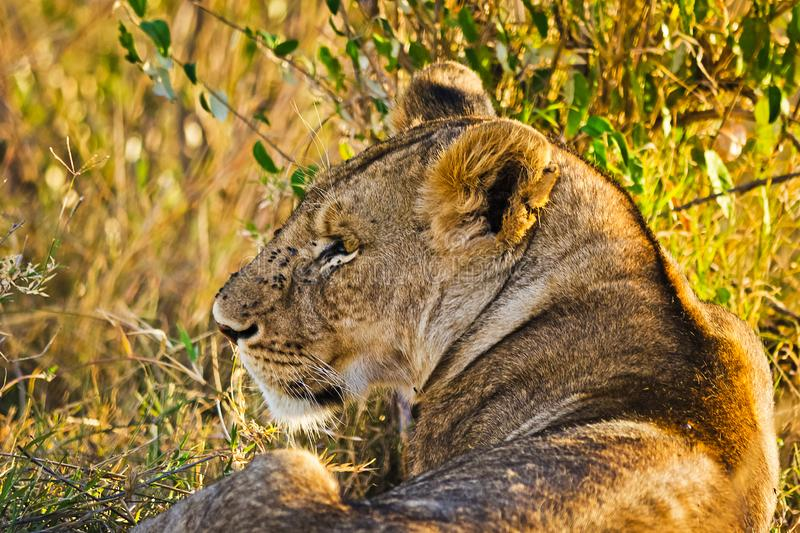 Lion in the wild in the African. Lion - predator felines stock photo