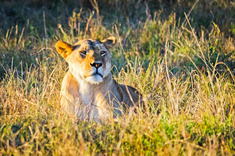 Lion in the wild in the African . Lion - predator felines stock photography