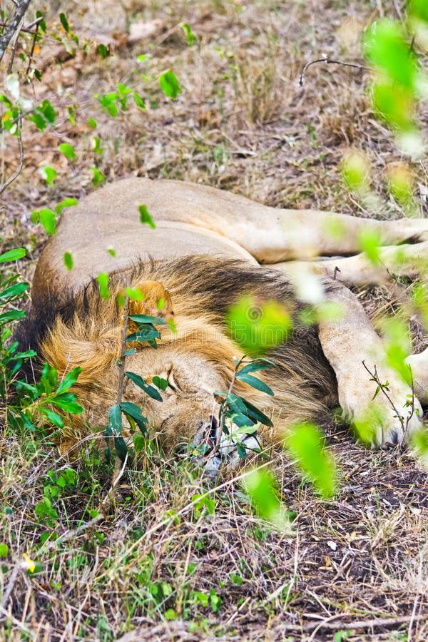 Lion in the wild in the African . Lion - predator felines. Lion in the wild in the African savannah. Lion - predator felines royalty free stock photos