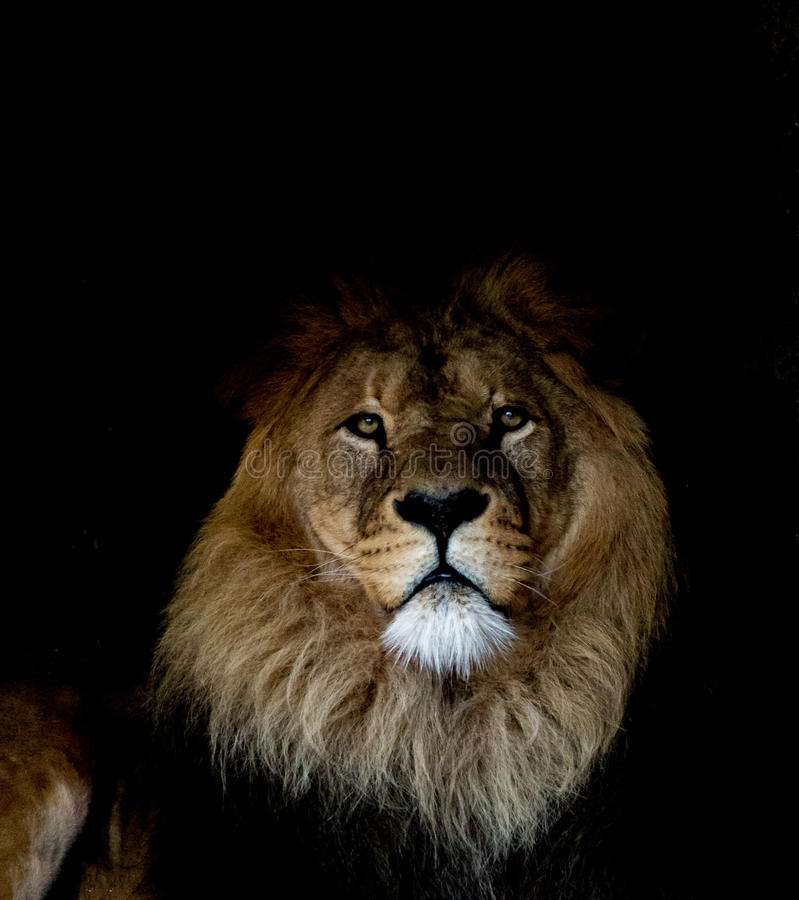 Lion. Wildlife lion blackphoto animal beautiful royalty free stock image