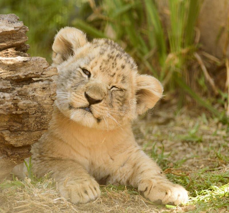 Lion, Wildlife, Terrestrial Animal, Mammal royalty free stock image