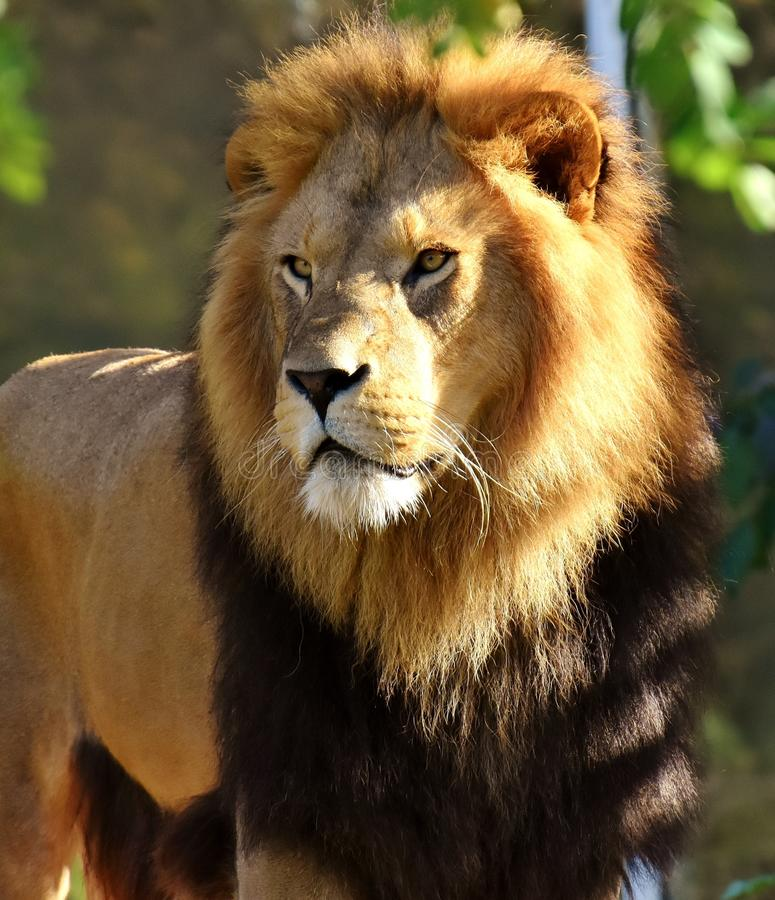 Lion, Wildlife, Terrestrial Animal, Mammal