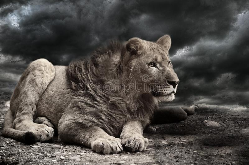 Lion Wind Storm Clouds royalty free stock photo
