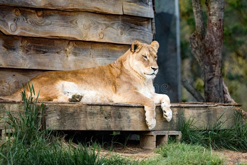 Lion on Wood royalty free stock images