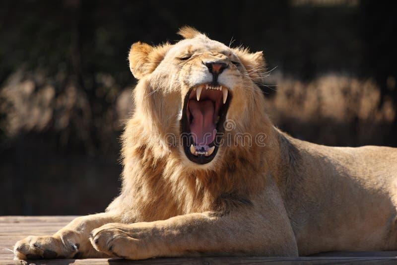 Lion Yawn Royalty Free Stock Photography