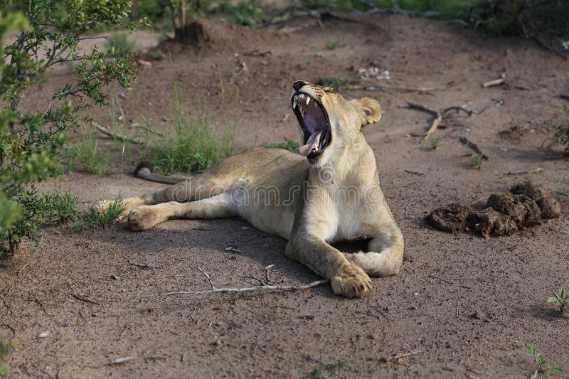 Lion Yawn adolescent en parc national de Hwage, Zimbabwe photo libre de droits