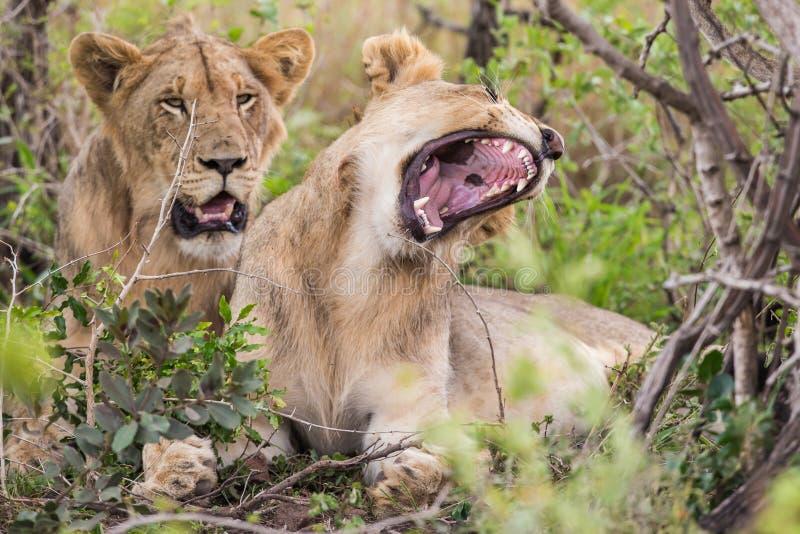 Lion Yawning South Africa-wild lebende Tiere lizenzfreie stockfotografie