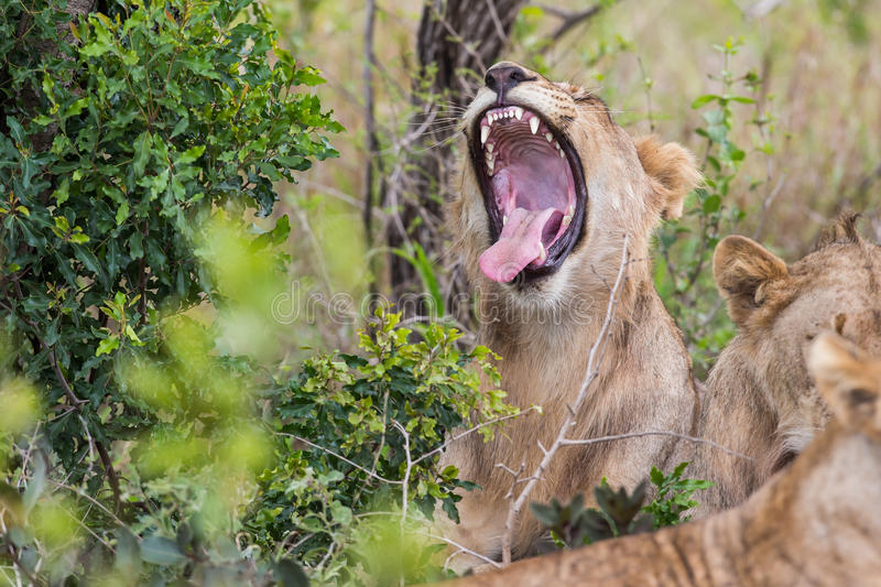 Lion yawning South African Wildlife royalty free stock photography