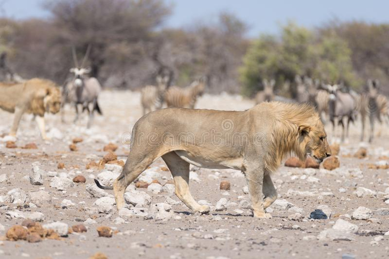 Lion and Zebras running away, defocused in the background. Wildlife safari in the Etosha National Park, Namibia, Africa. Lion and Zebras running away, defocused royalty free stock image