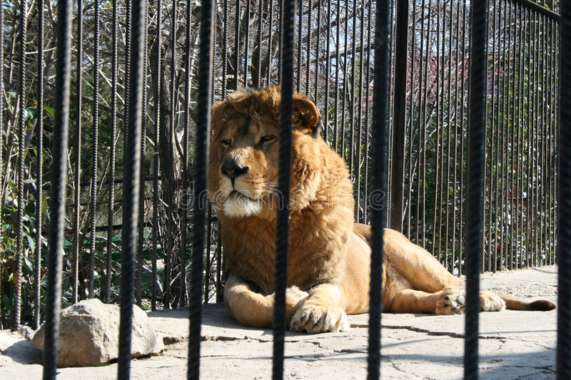 Lion in zoo. Beautiful lion in Ukrainian zoo stock images