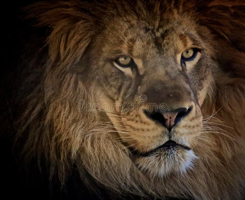 Lion zoo royalty free stock image