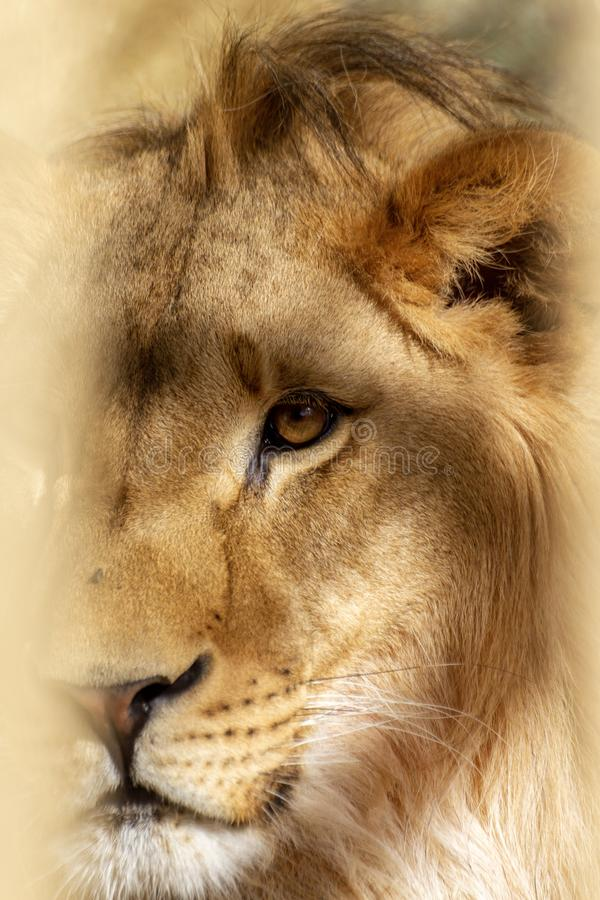 A Lion in a zoo cage closeup royalty free stock photography