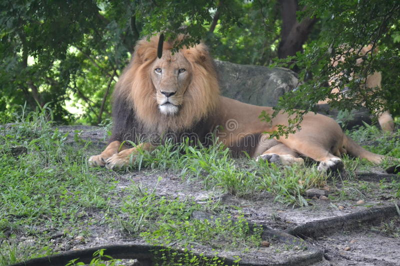 Lion At The Zoo. King of The Zoo.. ROAR stock image