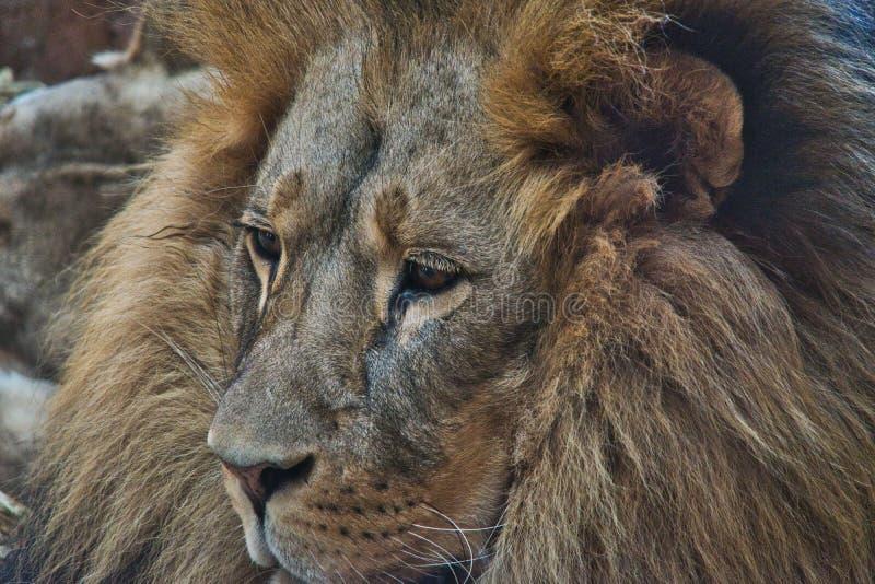 Lion in Zoo Mane Animals Wildlife Roar. Lion Mane Animals Wildlife Roar royalty free stock image