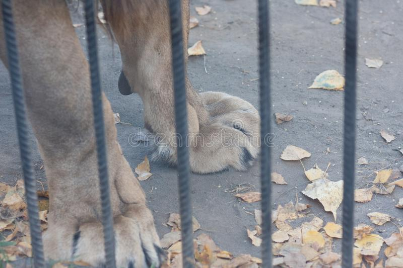 lion zoo. paws of a lion behind bars. powerful paws of royalty free stock photo