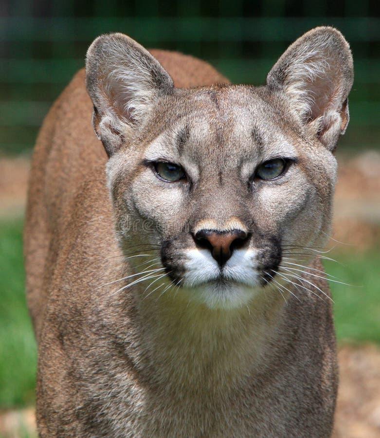 lionberg royaltyfri fotografi