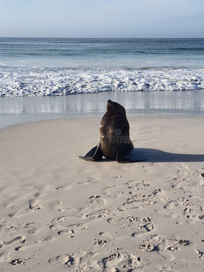 Lione marino a Long Beach nel Capo occidentale di Kommetjie fotografia stock