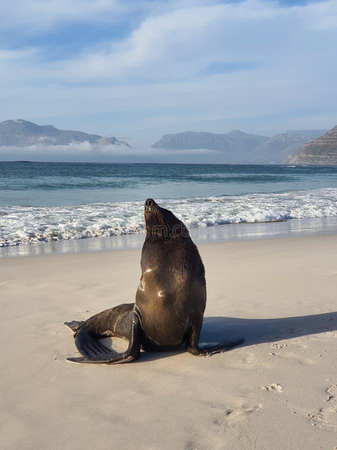 Lione marino sulla spiaggia di Long Beach a Kommetjie immagine stock