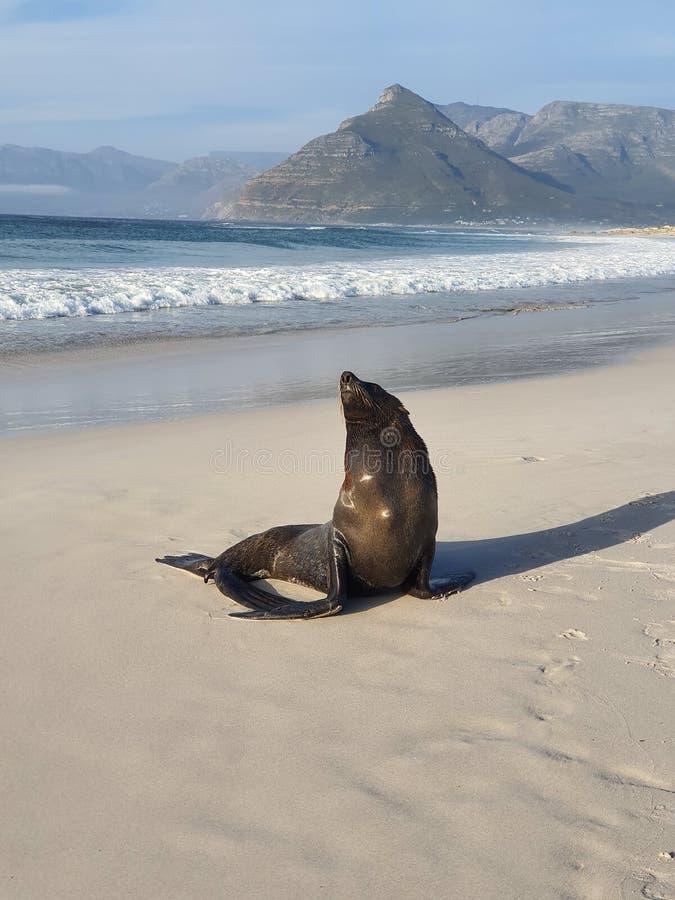 Lione marino sulla spiaggia di Long Beach Kommetjie nel Capo Occidentale fotografia stock