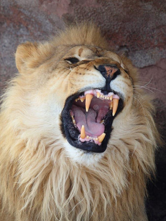 lionen vrålar arkivbild