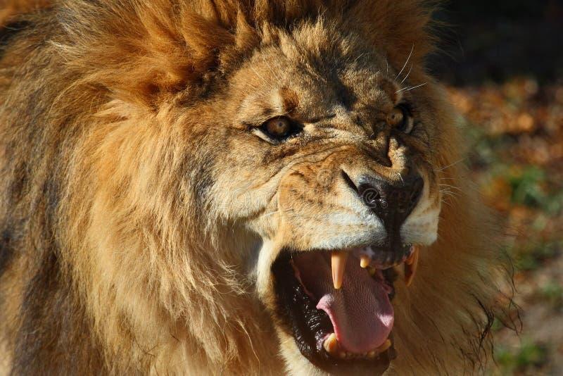 lionen vrålar arkivfoton