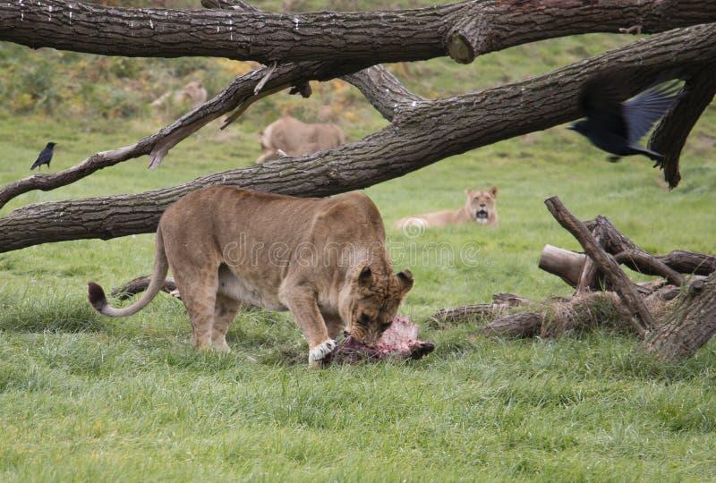 Liones som äter nytt kött arkivbild
