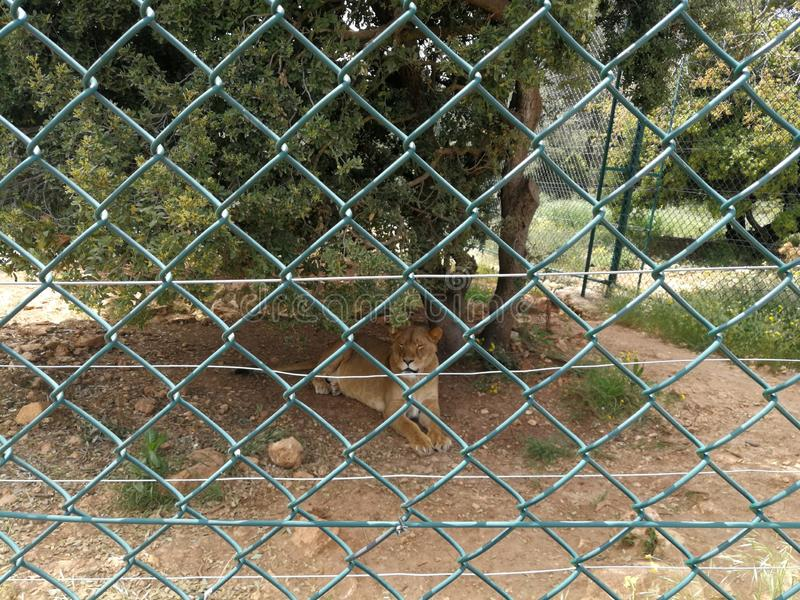 Liones w Ajloun Naturalnej rezerwie zdjęcie stock