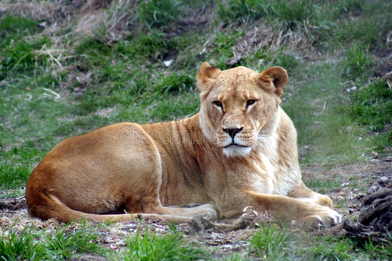 Download Lioness stock image. Image of lioness, lion, fierce, jungle - 7589