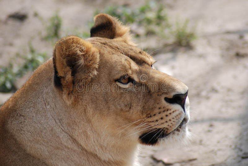 Download Lioness stock photo. Image of danger, mammal, nature - 10829116