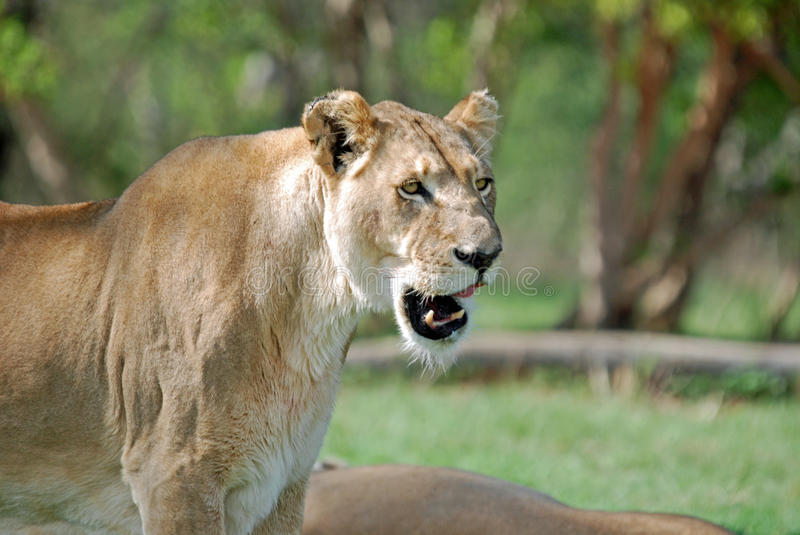 Download Lioness stock photo. Image of bonding, carnivore, fierce - 11915718