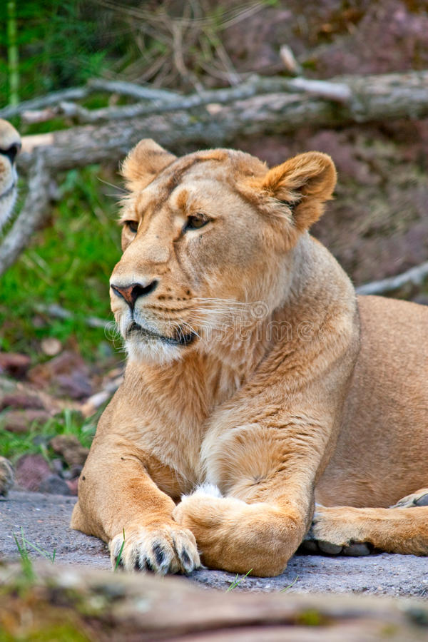 Download Lioness stock photo. Image of power, staring, nature - 13634880