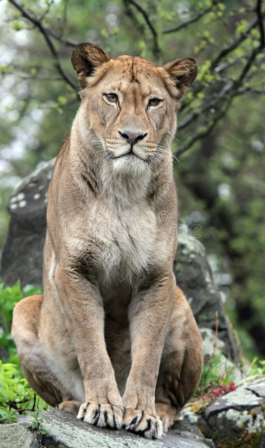 Download Lioness stock image. Image of lion, wild, park, feline - 14127645