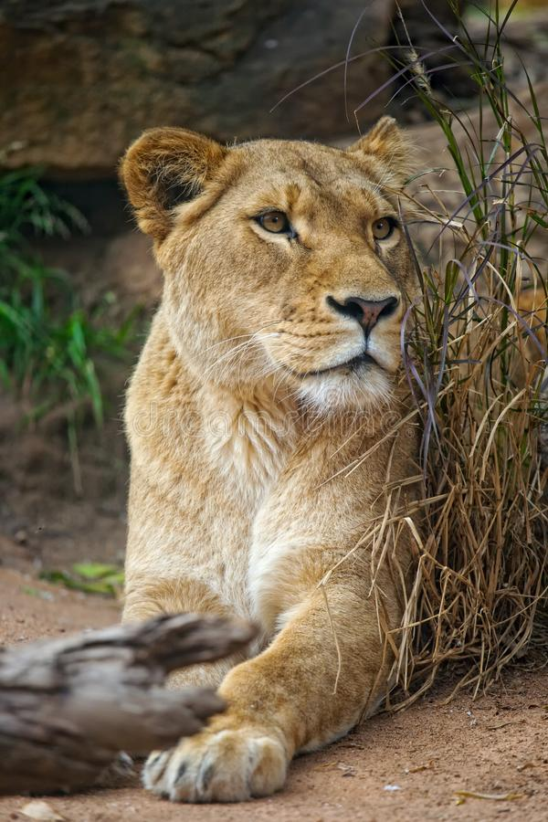 Download Lioness portrait stock photo. Image of outdoors, taronga - 14223348