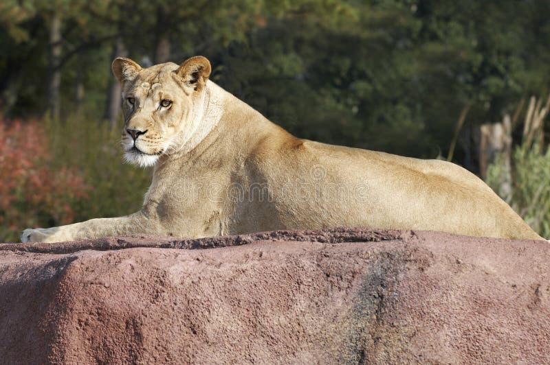 Download Lioness stock image. Image of animal, wildlife, wilderness - 1557899