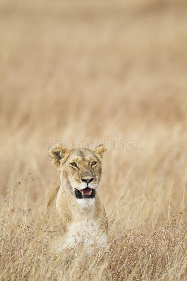 Lioness. In the grass, Masai Mara National Reserve, Kenya, Africa stock images