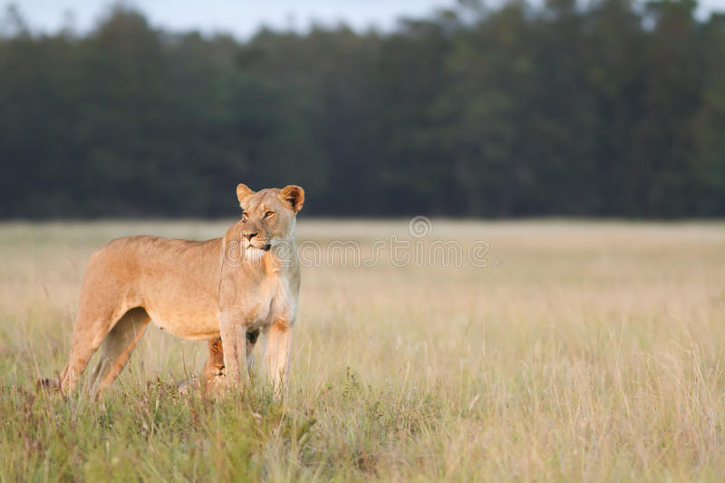 Download Lioness stock photo. Image of female, fauna, cape, horizontal - 19192162