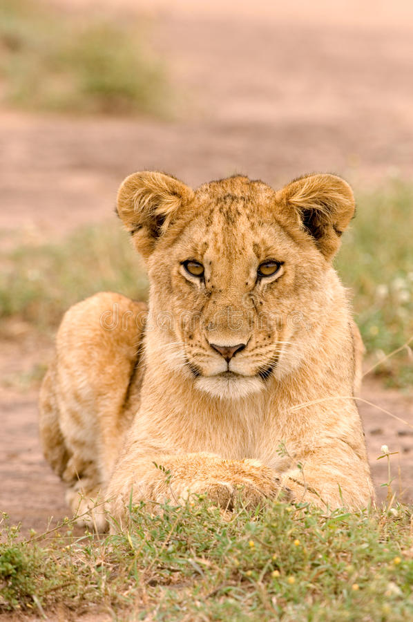 Download Lioness Stock Images - Image: 20218524