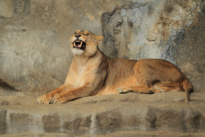 Download Lioness Royalty Free Stock Photo - Image: 25550625