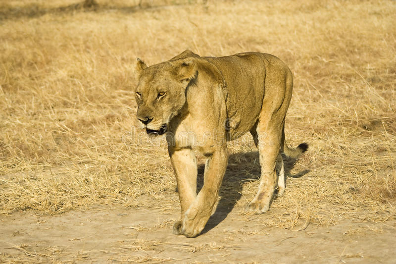 Download Lioness stock image. Image of reserve, national, safari - 25910237