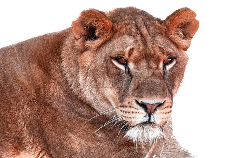 Download Lioness stock image. Image of feline, african, large - 26674203