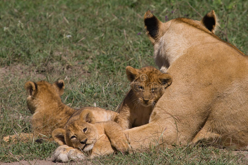 Lioness and 3 cubs - Panthera leo. Lioness with 3 cubs that are 4 weeks old royalty free stock images