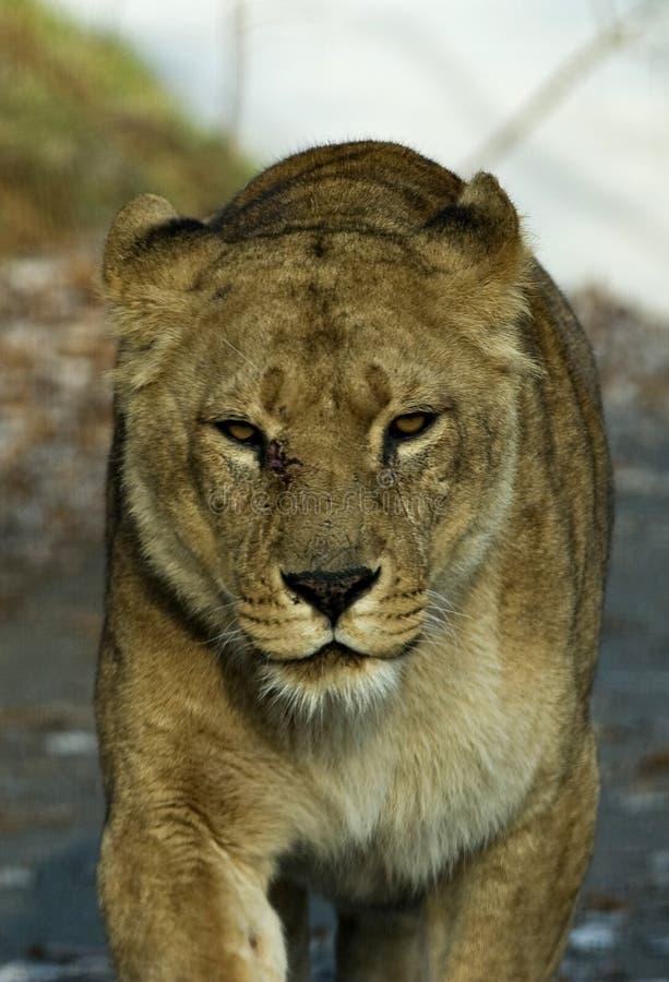 lioness royaltyfria bilder