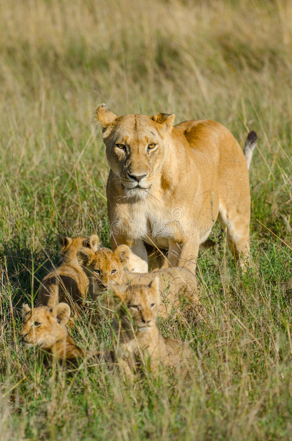 Lioness with 4 cubs. Lioness coming out from her hiding place with her four cubs royalty free stock image