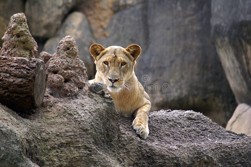 Download LIONESS Stock Photography - Image: 7077532