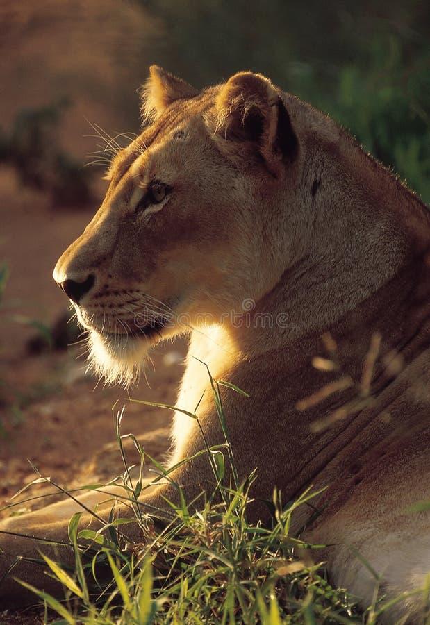 Download Lioness fotografia stock. Immagine di wildlife, predatore - 7323534