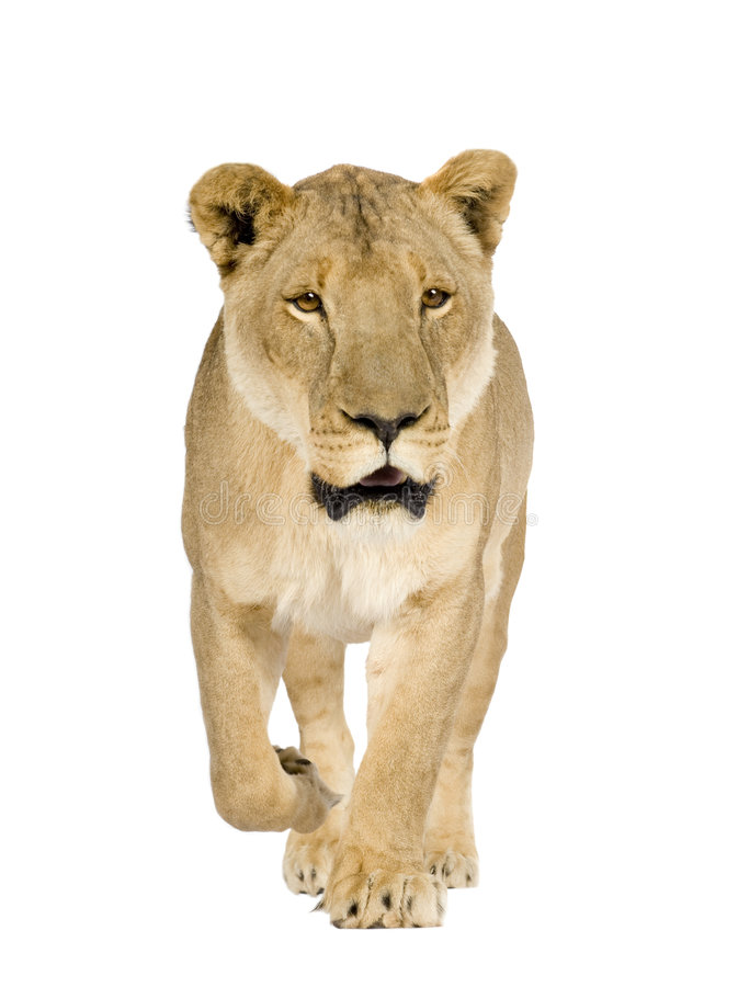 Lioness (8 years) - Panthera leo royalty free stock photography