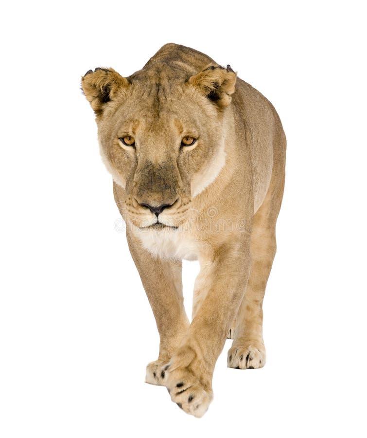 Free Lioness (8 Years) - Panthera Leo Stock Photography - 8417372