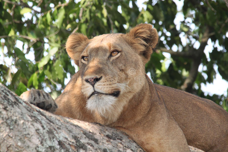 lioness immagine stock libera da diritti