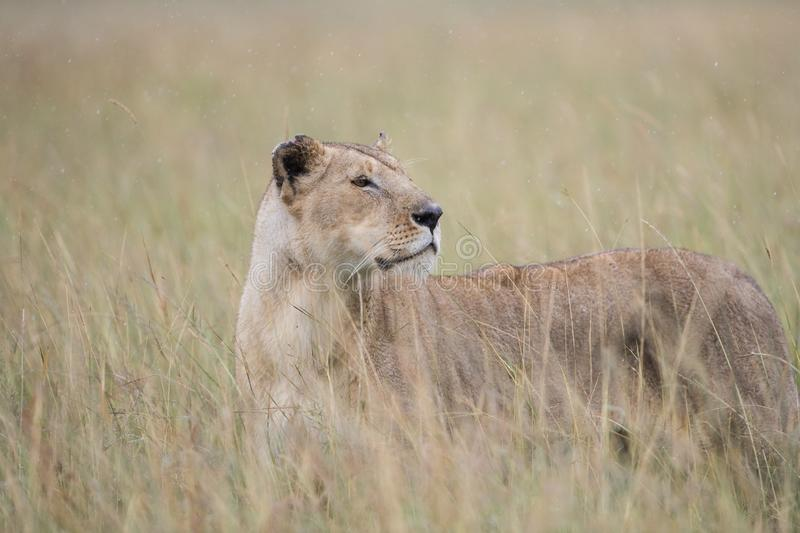 Lioness on african savannah stock images