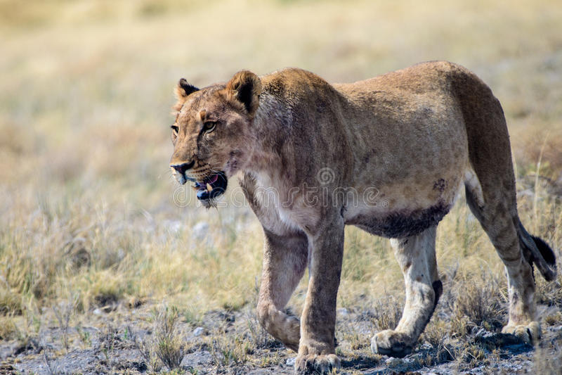 Lioness approaching close by. Lioness walking at close proximity royalty free stock photo